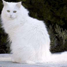 Le chat Angora turc : tout ce qu'il y a à savoir – Titiranol