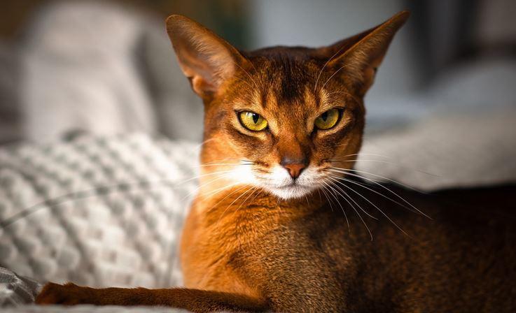 Fiche titiranol sur le chat abyssin