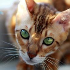 Le chat bengal : Santé, personnalité, entretien, histoire… Titiranol