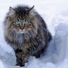 Chat norvégiens des forêts : Santé, comportement, histoire Titiranol
