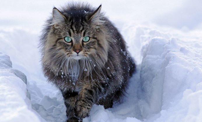 chat norvegien neige