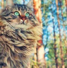 Chat sibérien : Personnalité, santé, alimentation, entretien : toutes les infos – Titiranol