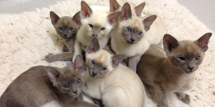 chaton tonkinois bébé