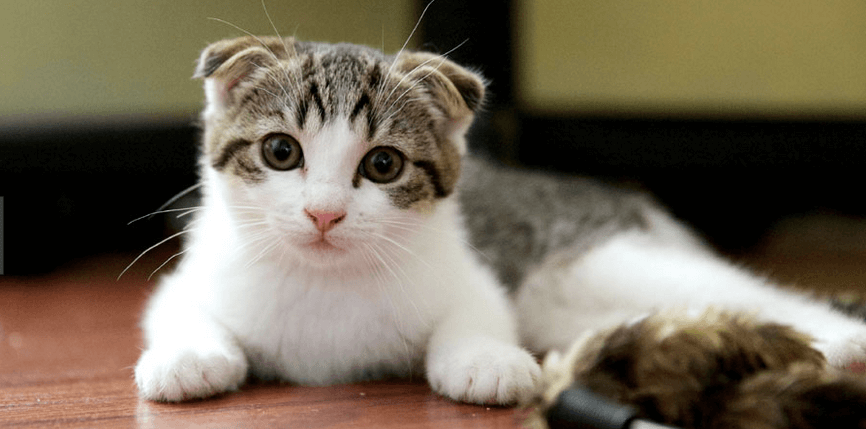 scottish fold chat