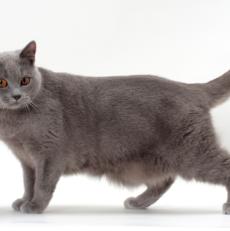 Le chat Chartreux : santé, personnalité, origine de la race – Titiranol