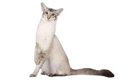 chats javanais
