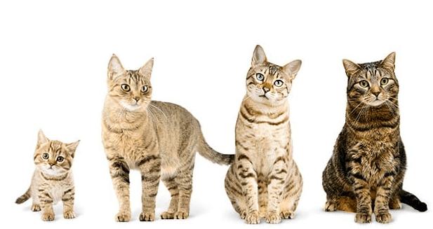 chat-adulte-chaton
