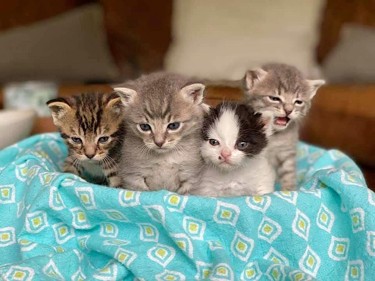 adoption chatons