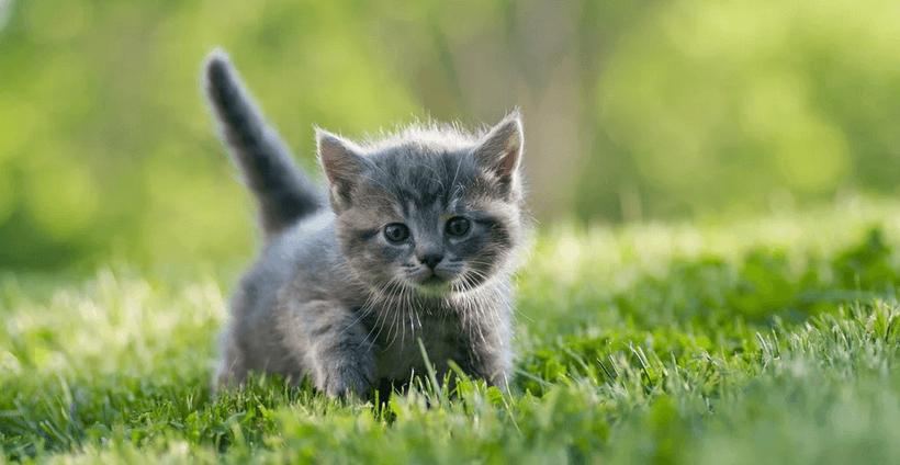 checklist-chaton