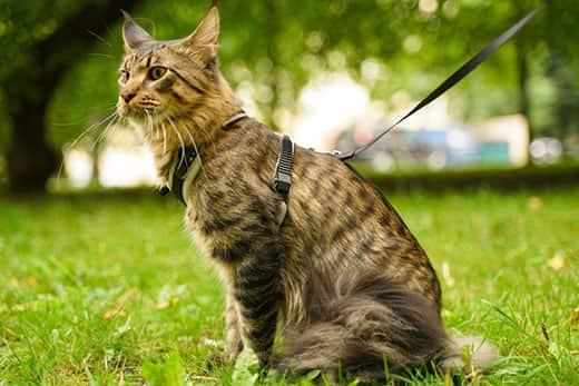chat qui porte un harnais en balade