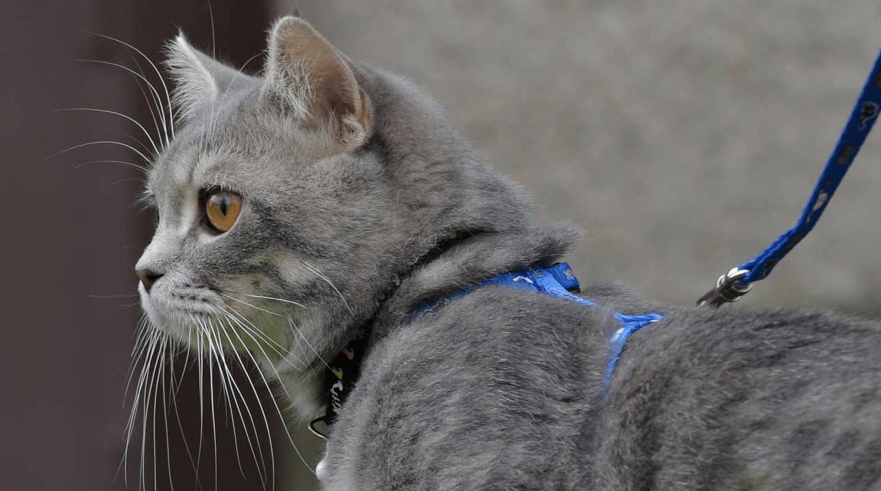 laisse pour chat