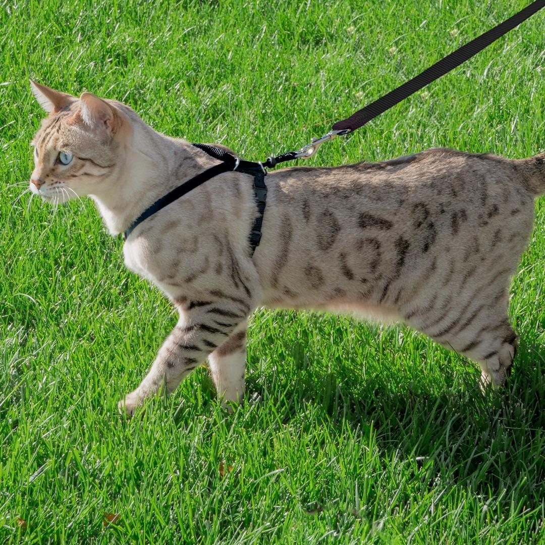chat qui porte un harnais