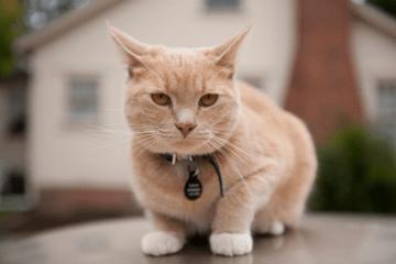 chat-prendre-poids