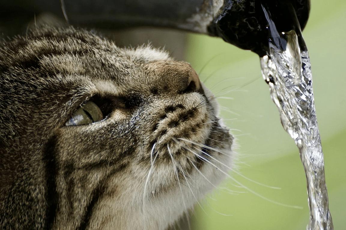 chat déshydratation