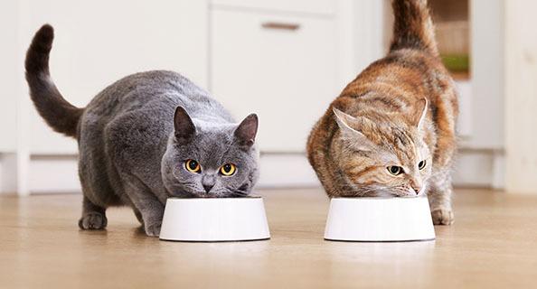 chats mangeant dans une gamelle