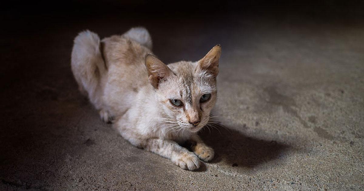chat maigre perte de poids