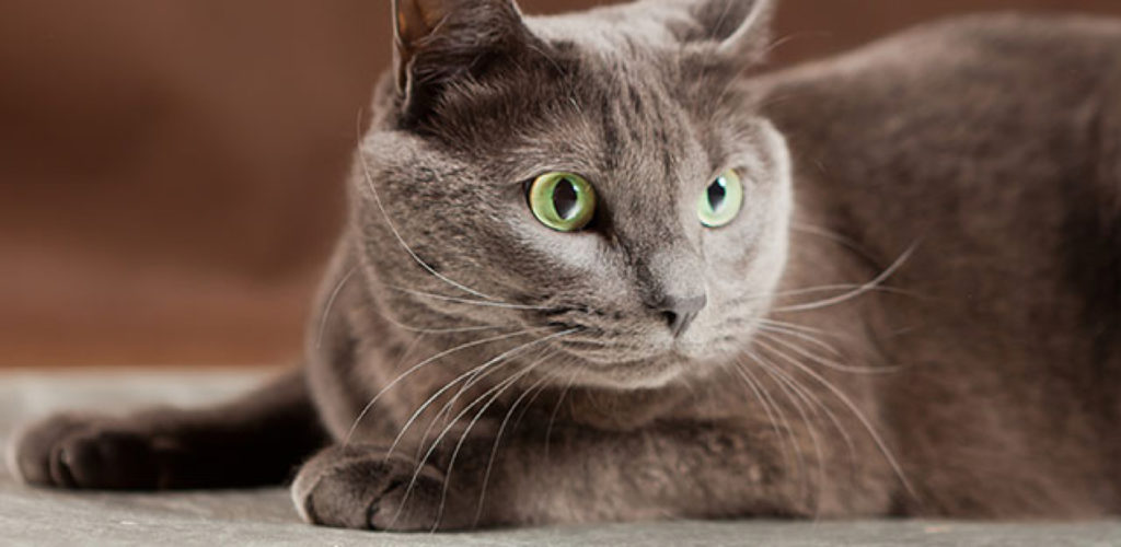 chat bleu russe yeux verts