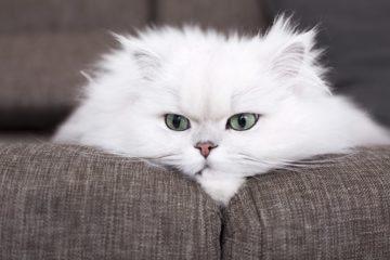 chat persan sur canapé