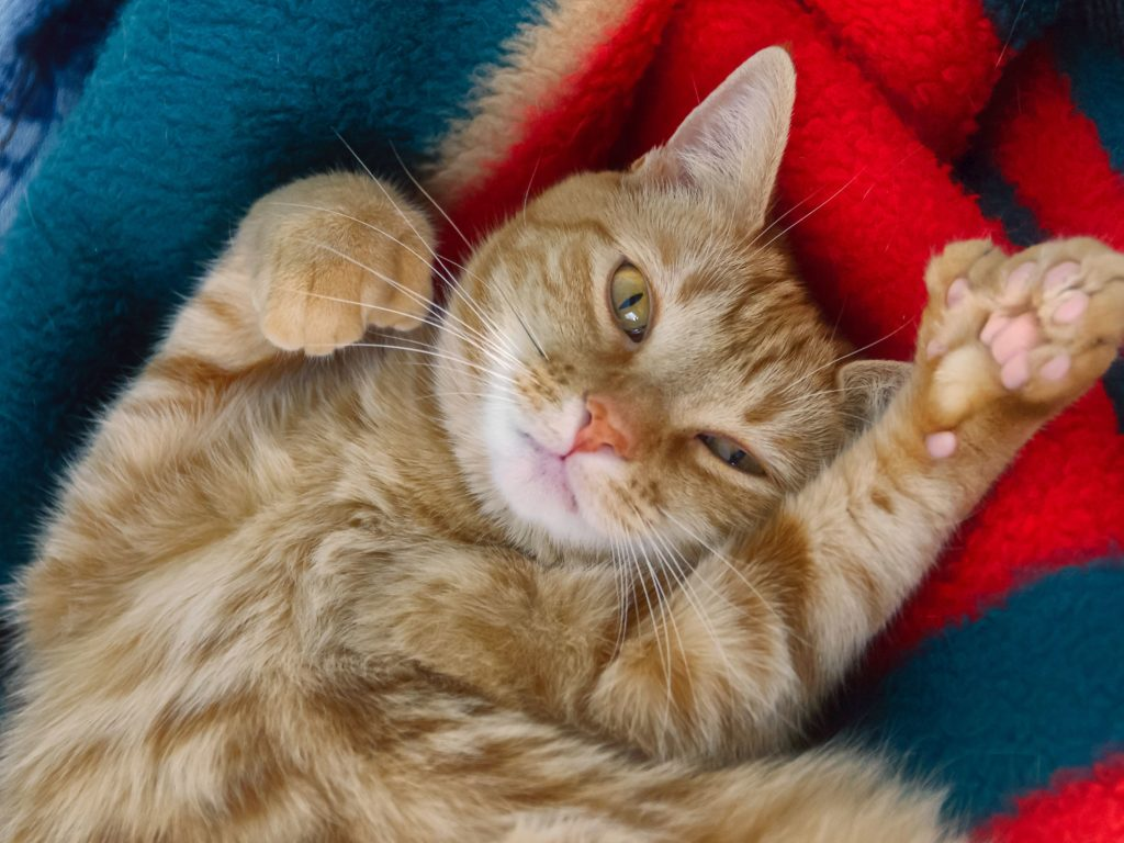 chat polydactyle roux