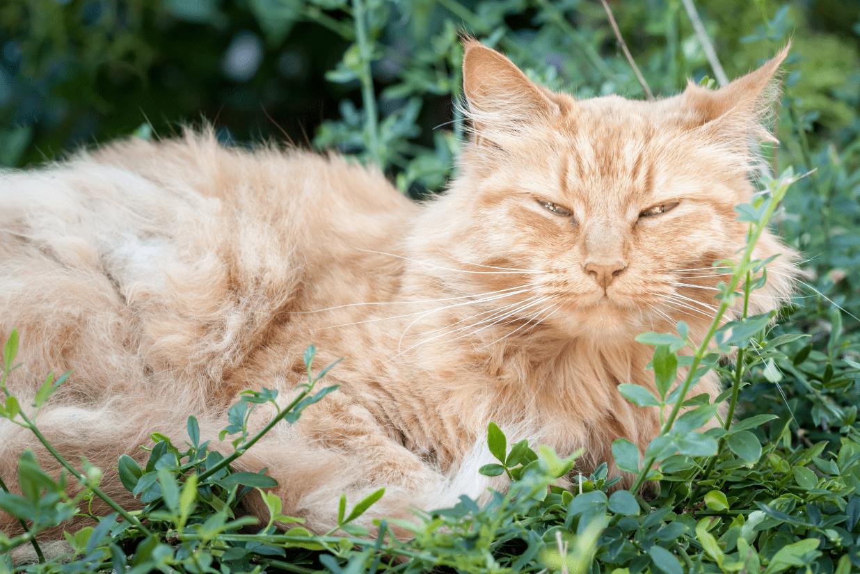 chat âgé