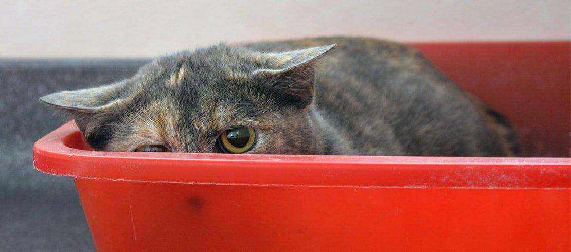 diarrhée chez le chat symptôme