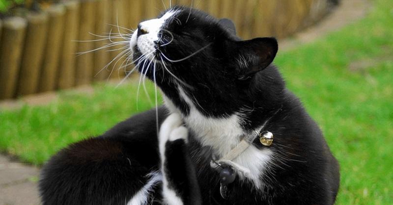traitement anti puce pour chat